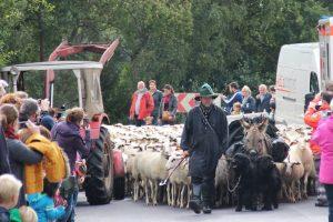 Einzug der Schafe beim Schaftag 2015