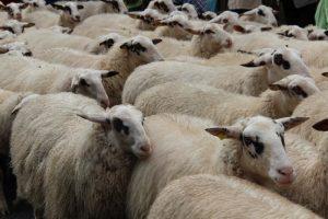 Folgsame Schafe